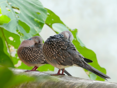 pair of indian dove