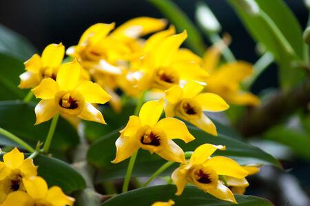Dendrobium ochreatum orchid photo