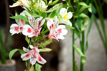 Alstroemeria - The Lily of the Incas photo