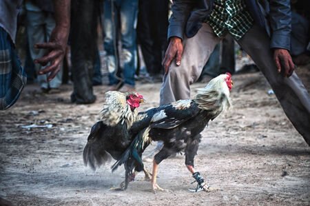 Cock fight in a village of India photo