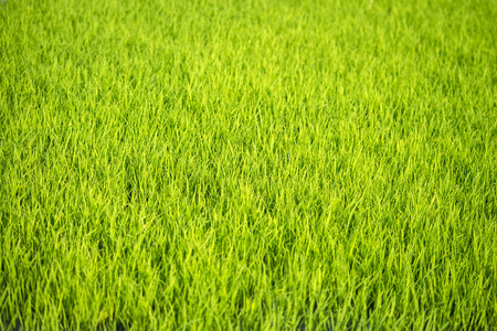 Green grass paddy field Stock Photo
