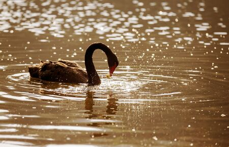 cygnus atratus: Black Swan (Cygnus atratus) at Pang-ung, North of Thailand.