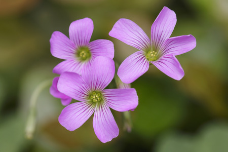creeping woodsorrel: Closeup Pink oxalis  in garden