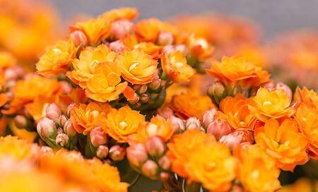 soft   focus: Close-up , soft focus  beautiful orange flowers