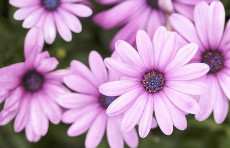 singularity: Daisy, Beautiful pink daisy. Stock Photo