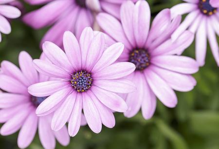 daisys: Daisy, Beautiful pink daisy. Stock Photo