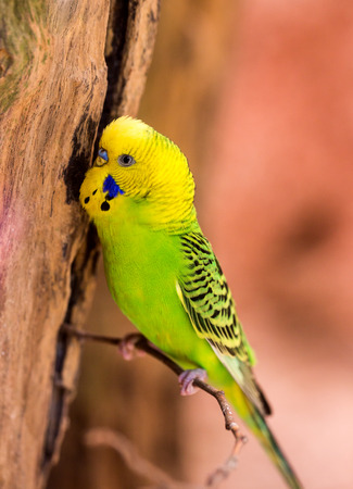 lovebird: beautiful green parrot lovebird on colorful nature background