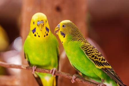 beautiful green parrot love bird