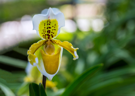 Close up of a yellow lady slipper orchid blossom in flower garden close up of a yellow lady slipper orchid blossom in flower garden stock photo 78930087 mightylinksfo