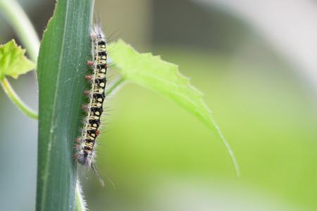 gusanos: Gusanos, insectos, gusanos en una hoja de loto Foto de archivo