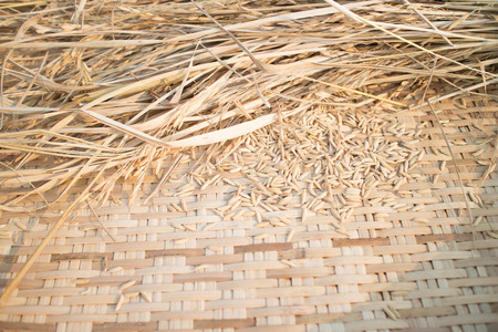paddy: Paddy rice in weave threshing basket