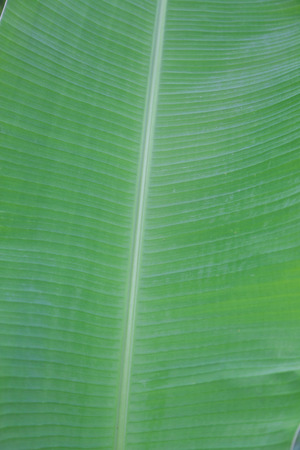 banana leaf with vertical branch in the middle.