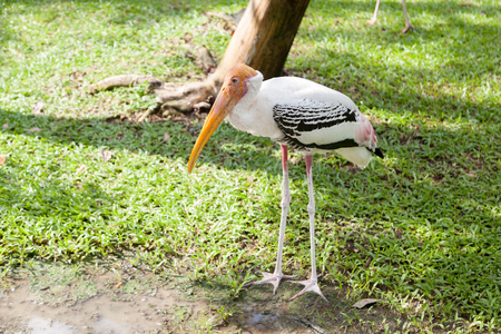 Painted Stork in the zoo, Thailand
