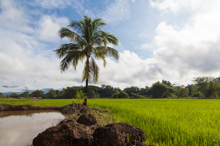 A green field of growing rice, a blue sky with rare white clouds in thailand., tropical trees on the horizon, a bright sunset sun
