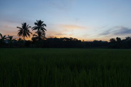 A silhouette green field of growing rice, a blue sky with rare white clouds in thailand., tropical trees on the horizon, a bright sunset sun