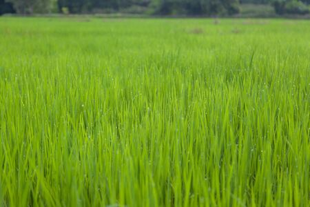 Green rice in cultivated agricultural field early stage of farming plant development selective focus with shallow depth of field.