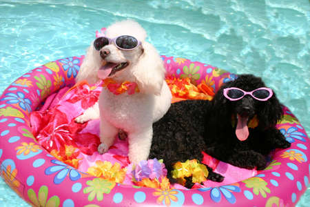Poodles in swimming pool