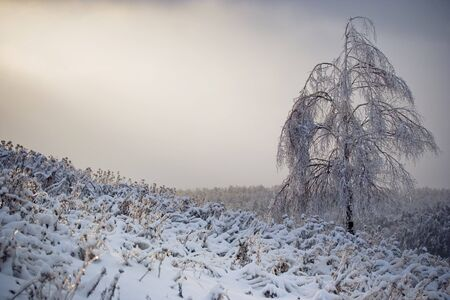 This is a lonely birch at sunrise in winter forest, Russia photo