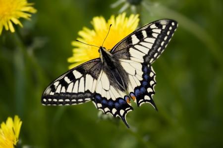 papilio: Papilio machaon sitting on dandelion