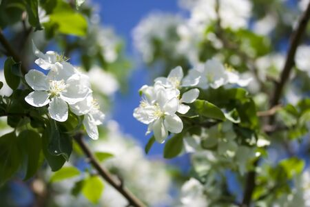 Apple blossom in the garden, Bashkortostan, Russia photo