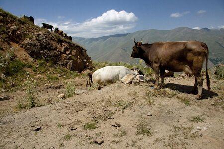 Brown cow in Armenia mountains, near Meghri passing photo
