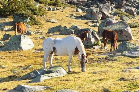 Horses in Pyrenees mountain. Summer sunny day. Andorra