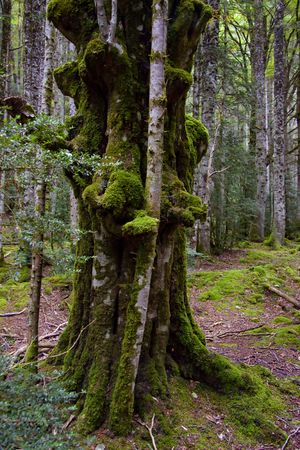 Old green tree with moss  France, dark forest  photo