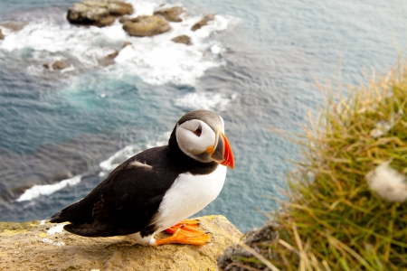 Beauty and colorful puffin in Latrabjarg - Iceland.
