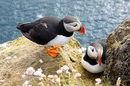 Colorful puffins on the rock - Iceland photo