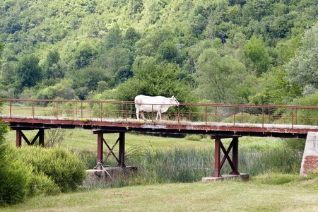 Cow on the bridge in Bosnia and Herzegovina. photo
