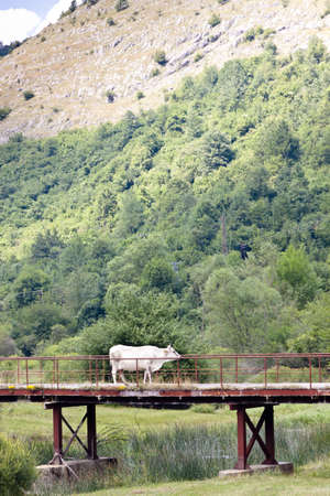 White cow on the old bridge in Bosnia and Herzegovina, Balkans. photo