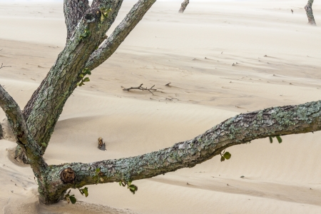 Detail of dead forest on sandy dunes in National Park -  Leba, Poland. photo