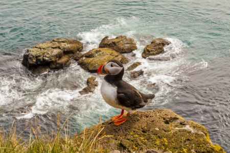 One beauty puffin bird  - Latrabjarg, Iceland  Stock Photo - 16873469