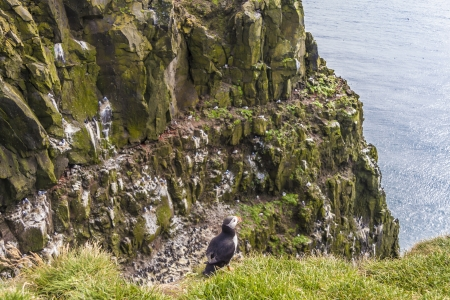 View on wildlife on Iceland - Puffin, Latrabjarg Stock Photo - 16873472
