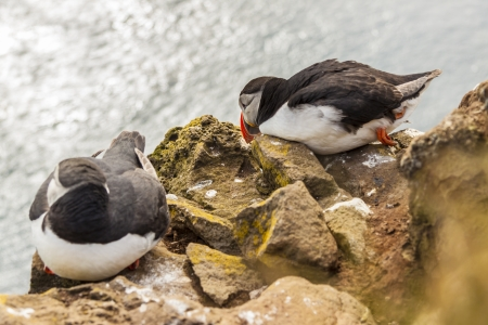 Two puffins bird on Latrabjarg cliffs - Iceland  Stock Photo - 16873483