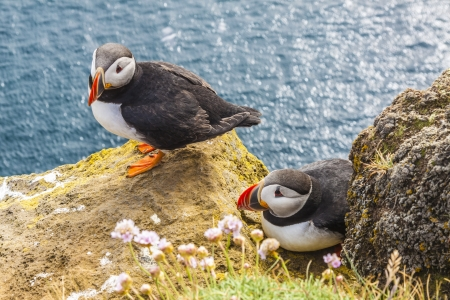 Iceland, Latrabjarg cliffs  View on wildlife - puffins bird  Stock Photo - 16890226