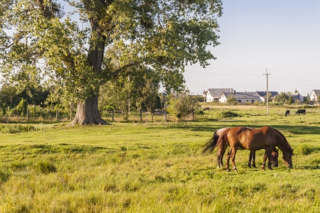 Ukraine summer sunny day. Rural view. Two brown beauty horses photo