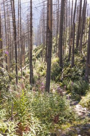 kwaśne deszcze: Zobacz na martwego lasu w Tatrach - Polska, Europa. Zdjęcie Seryjne