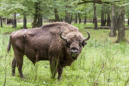 Aurochs in Bialowieski National Park - Poland. Stock Photo