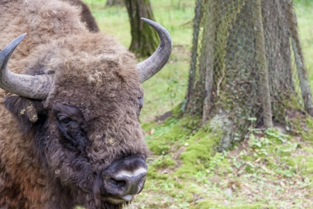 Aurochs in Bialowieski National Park - Poland. photo