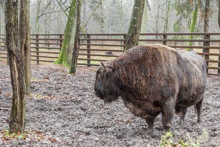Big aurochs in Bialowieski National Park, Poland.