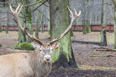 Big old deer in Bialowieski National Park - Poland.