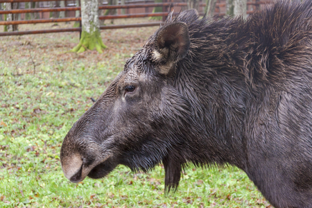 View on moose in Bialowieski National Park.