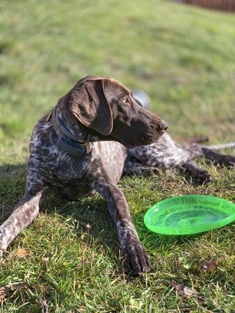 Puppy dog  breed German Shorthaired Pointer with green flying disk 写真素材