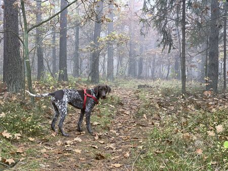Dog in the forest in foggy autumn day.