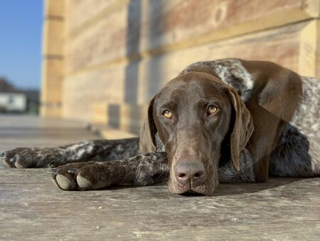 Sleeping dog - German Shorthaired Pointer