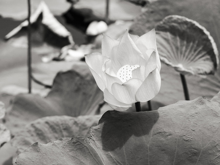 selected: lotuswater lily flower and leaves in a pond ,selected focus in black and white