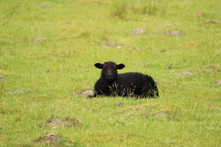 Relaxing Lamb