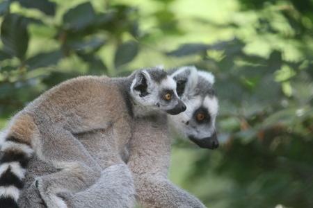 Lemur 免版税图像