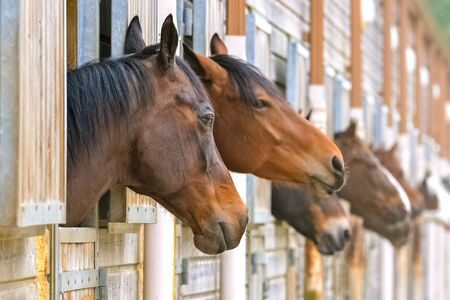 Beautiful brown horses in wooden boxes